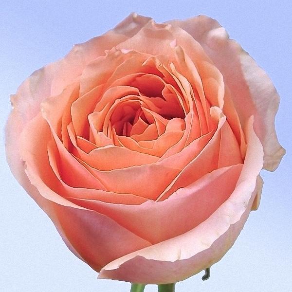 Box Of Garden Rose Campanella Pink