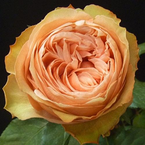 Box Of Garden Rose Kahala