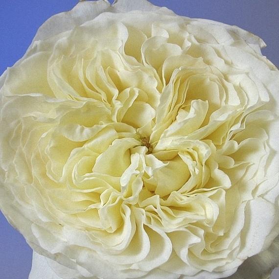 patience david austin garden rose